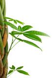 image pachira tress plante tropicale isol sur fond blanc photo libre de droits sur la. Black Bedroom Furniture Sets. Home Design Ideas