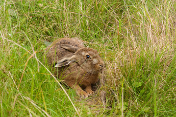 European Brown Hare in form