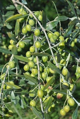 Ramo di olivo con frutti immagini e fotografie royalty for Acquisto piante olivo