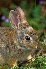Wild Rabbitt