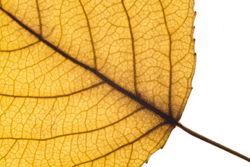 Close-up of a yellow autumn leaf in back-light