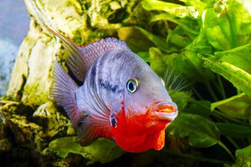 fish cichlasoma meeki