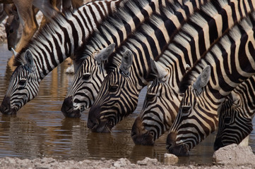 Zebras in a row drinking water at the waterhole