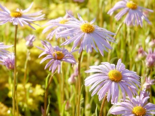 Wall Mural - Purple aster flowers on a meadow at sunrise in the springtime