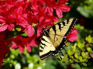 Azalea w/ Butterfly-1