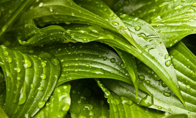 Water droplets on a fresh green leafs