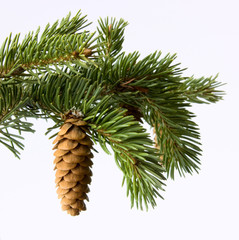 Fir-cone on a branch