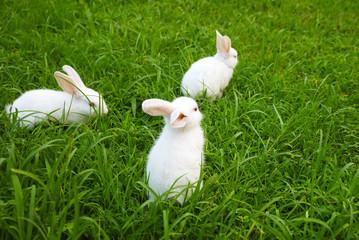 three  rabbits on the lawn