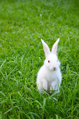 standing white rabbit on the grass