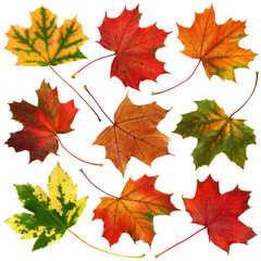 Wall Mural - Autumn leaves collection isolated on white background