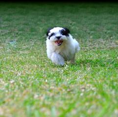 Chiot courant dans l'herbe.