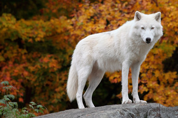 Foto auf Leinwand Wolf Arctic Wolf Looking at the Camera on a Fall Day