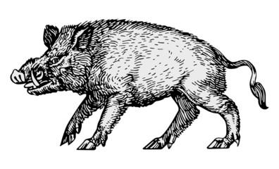 Hog vector