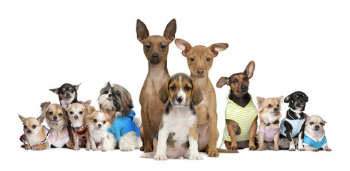 Portrait of small dogs in front of white background, studio shot
