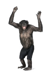 Chimpanzee in shorts with arms raised against white background