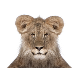 Portrait of immature lion in front of white background