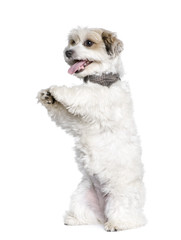 Mixed-Breed Dog standing on white background, studio shot