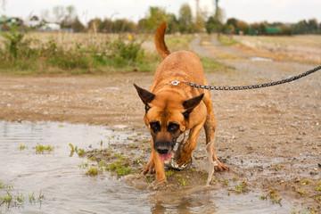 Hund beim Spielen in der Pfütze