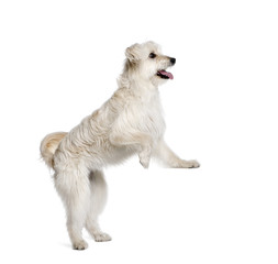Pyrenean Shepherd standing in front of white background