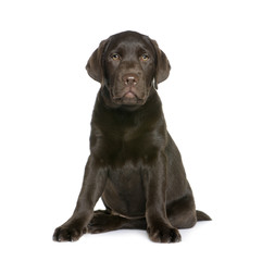 Labrador puppy sitting in front of white background