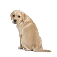 back view of a Cream Labrador puppy against white background