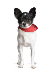 Bastard dog standing in front of white background