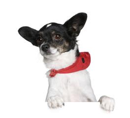 Bastard dog in red handkerchief in front of white background