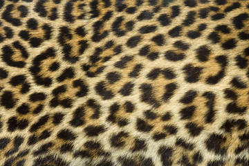 In de dag Luipaard leopard fur texture (real)