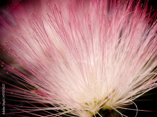 Pink Mimosa Flower Stock Photo And Royalty Free Images On Fotolia