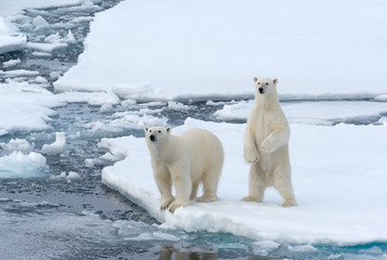 Photo sur Plexiglas Ours Blanc Polar Bears