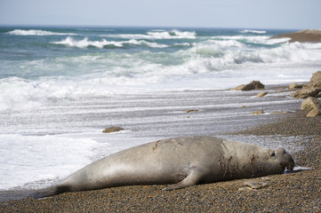 Fototapeta premium Big male elephant seal, Patagonia, Argentina.