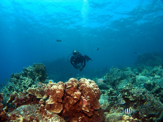 Diver on a Reef with Sergeant Major Fish