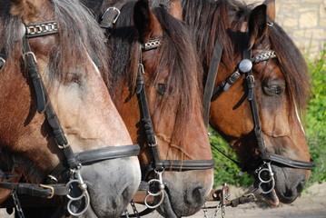 Pferde Köpfe