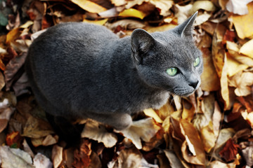 Russian blue cat sitting on yellow autumn leaves