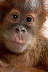 Close-up of Baby Sumatran Orangutan (4 months old)