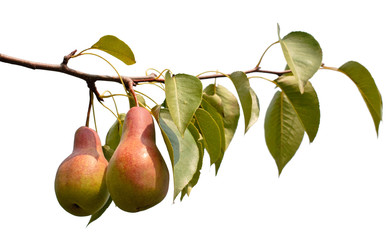 Branch with juicy pears