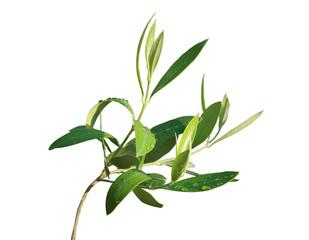 détail feuilles d'olivier