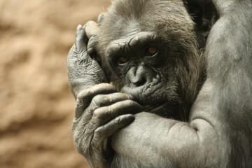 Scimpanzè pensieroso