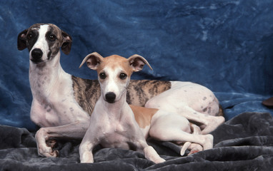 chienne whippet et son chiot tendrement enlacés