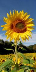 Big Sun-Flower
