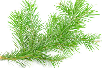 Christmas Pine branch isolated on white background