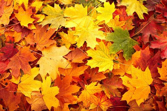Background group autumn orange leaf. Nature.