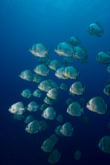 a School of Circular batfish (Platax orbicularis)
