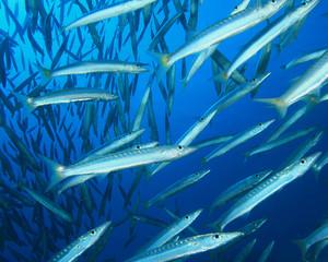 Shoal of Yellowtail Barracuda