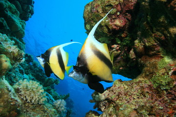 Pair of Red Sea Bannerfish on a coral reef