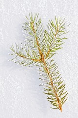 Branch isolated on the snow