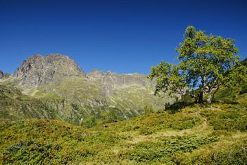 Einsame Birke in den Bergen