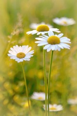 Fototapete - Daisies on a meadow at sunset in the summertime