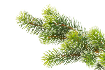Fir branch on white.