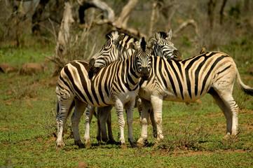Gruppe von Zebras